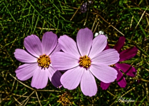 Flores silvestres 013