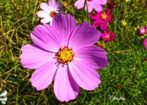 Flores silvestres 014