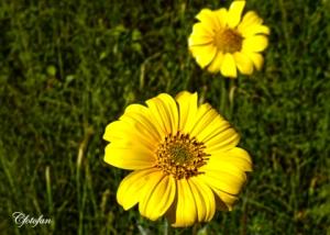 Flores silvestres 030
