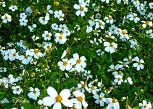Flores silvestres 046